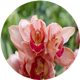 梓弓の香蘭
